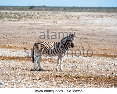Burchell's Zebra (Equus quagga burchellii), Okaukuejo, Etosha National Park, Namibia - Stock Photo