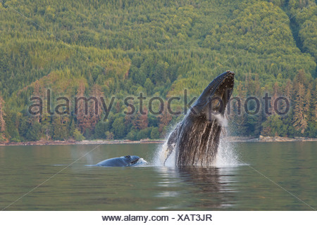 A Humpback Whale and her calf breaches from the calm waters of Frederick Sound, Inside Passage, Alaska - Stock Photo