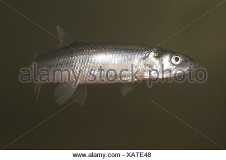 photo of an anadromous European Smelt with its teeth visible - Stock Photo