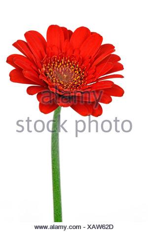 Miniature Gerbera - Stock Photo