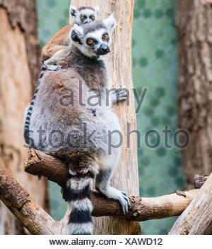 Ring-tailed Lemur (Lemur catta) with young, climbing, Hellabrunn Zoo, Munich, Upper Bavaria, Bavaria, Germany - Stock Photo