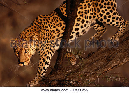 Leopard in tree Namibia - Stock Photo