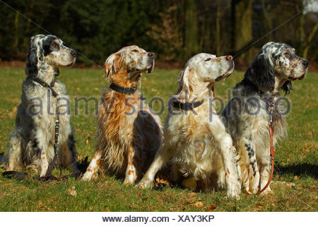 English Setter (Canis lupus f. familiaris), four English setter in a meadow - Stock Photo