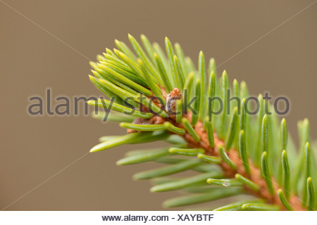 Branch from a Norway Spruce (Picea abies), close-up - Stock Photo
