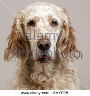 Close up of freckly English Setter - Stock Photo