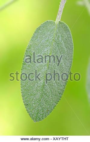 Common Sage (Salvia officinalis), leaf, North Rhine-Westphalia, Germany - Stock Photo