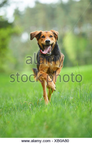 mixed breed dog (Canis lupus f. familiaris), mixed breed dog with tongue hanging out running in a meadow, Germany - Stock Photo