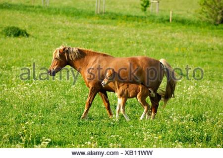 Hanoverian mare and foal in a paddock - Stock Photo