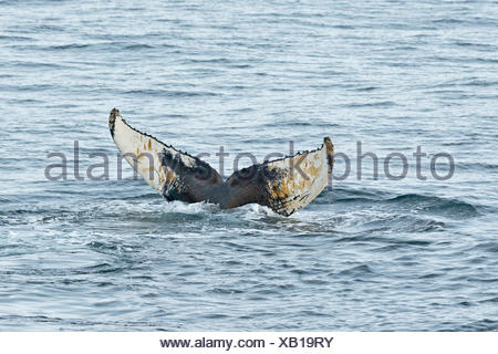 Fluke, Humpback Whale (Megaptera novaeangliae), plunging, Barents Sea, Nordaustland, Svalbard Archipelago - Stock Photo