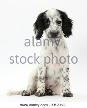 Black-and-white Border Collie x Cocker Spaniel puppy, 11 weeks, sitting, against white background - Stock Photo