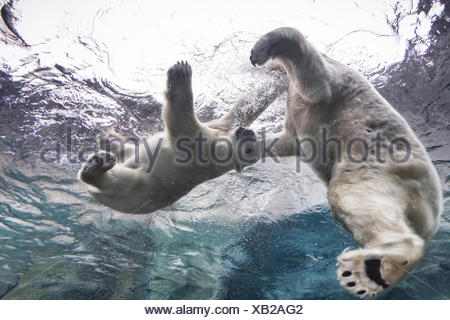 Polar Bears playing underwater at the Journey to Churchill, Assiniboine Park Zoo, Winnipeg, Manitoba, Canada - Stock Photo