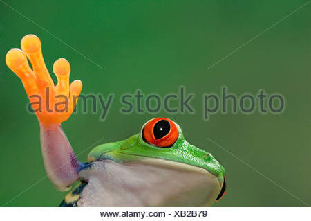 Red-eyed Tree Frog. Tropical rainforest frog from Central America. - Stock Photo