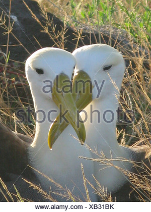Waved Albatross (Diomedea irrorata) adult pair, close-up of heads, sitting together at nest, Espanola Island, Galapagos Islands - Stock Photo
