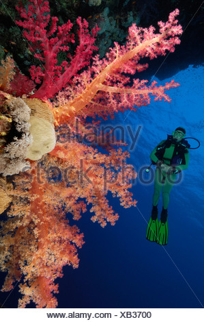 Scuba Diver on Soft Coral Reef, Dendronephthya klunzingeri, Elphinstone, Red Sea, Egypt - Stock Photo