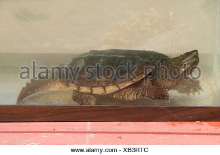 Alligator Snapping Turtle (Macrochelys temminckii) Sandstone, Minnesota, North America, U.S.A. - Stock Photo
