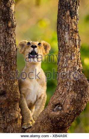 Asiatic lion cub (Panther leo persica) looking up into tree, possibly at a bird, Gir Forest NP, Gujarat, India - Stock Photo