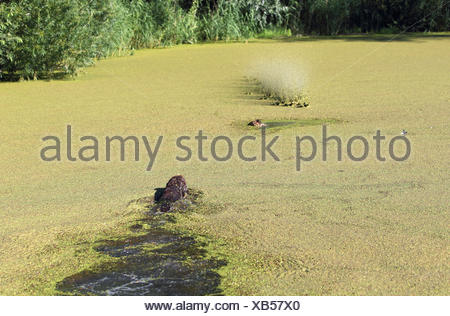 hunting dog training: dog retrieves a dead duck coincident with a shot in the water, Germany, North Rhine-Westphalia - Stock Photo