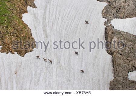 Alpen-Steinbock, Alpensteinbock (Capra ibex, Capra ibex ibex), Alpensteinboecke queren ein steiles altes Schneefeld, Schweiz, Al - Stock Photo