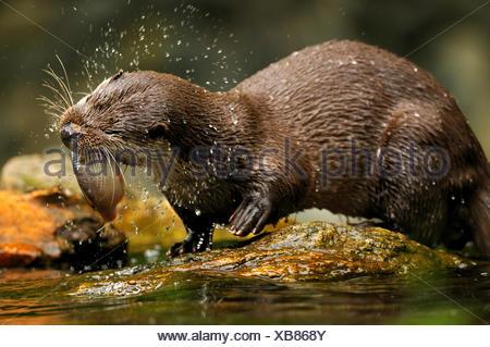 Otter Lutra lutra hairy-nosed otter mustelidae martens predators canids otters water predator fish marten otter lake fishing, - Stock Photo