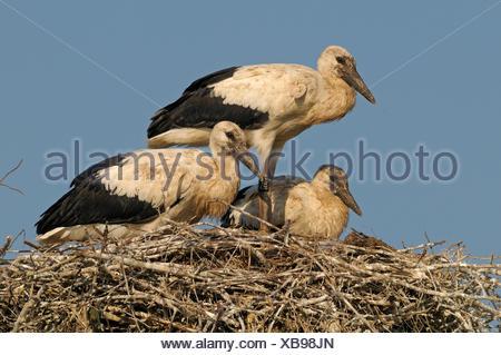 Half grown White Stork chicks on nest in close-up - Stock Photo