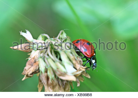 Seven-spotted Ladybird, coccinella septempunctata, on a dead plant head - Stock Photo