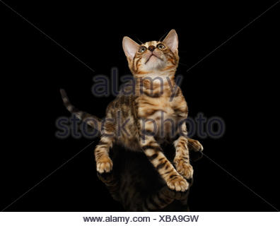 Bengal Kitty Sits and Looking Up on Black - Stock Photo