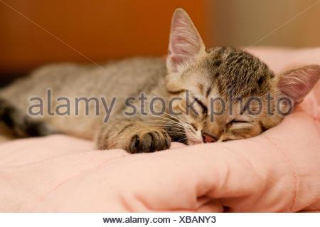 A babe brazilian short hair cat - Stock Photo