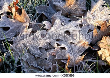Oak leaves on a meadow in winter - Stock Photo