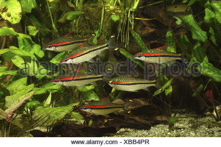 Red lined torpedo barb (Puntius denisonii), school of adult individuals - Stock Photo