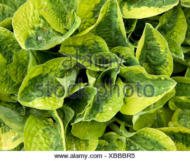 A hosta plant with variegated leaves - Stock Photo