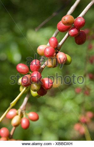 Coffee beans on a bush, Sierra de San Luis, Venezuela, South America - Stock Photo