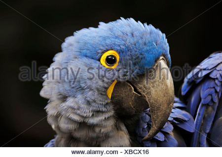 Hyacinth Macaw (Anodorhynchus hyacinthinus), portrait, native to South America, in captivity - Stock Photo