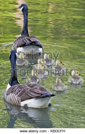 Canada geese - Stock Photo
