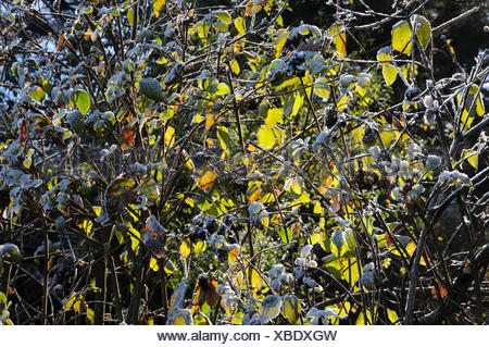 Viburnum lantana, Wayfaring tree, white frost - Stock Photo
