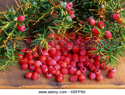 Common yew, English yew, European yew (Taxus baccata), seeds of yew with red aril, Germany - Stock Photo