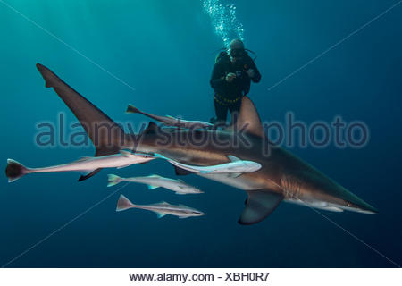 Large Oceanic Blacktip Shark (Carcharhinus Limbatus) circling diver, Aliwal Shoal, South Africa - Stock Photo