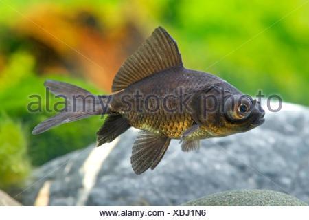 Goldfisch, Goldkarausche (Carassius auratus Black Moon), Black Moon | goldfish, common carp (Carassius auratus Black Moon), Blac - Stock Photo