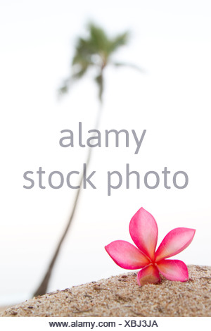 A pink plumeria flower, near a lone palm tree in Hawaii. - Stock Photo