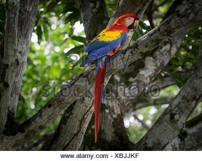 Scarlet macaw (Ara macao) sitting in tree, Costa Rica - Stock Photo