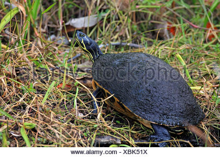 Florida redbelly turtle, Florida red-bellied turtle (Pseudemys rubriventris nelsoni, Chrysemys nelsoni, Pseudemys nelsoni), sitting on the riverside, USA, Florida, Everglades National Park - Stock Photo