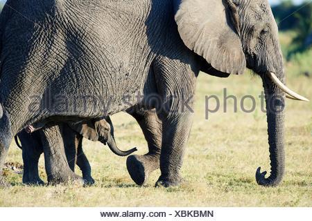 African elephant mother and young calf (Loxodonta africana), Duba Plains, Okavango Delta, Botswana, Southern Africa. - Stock Photo