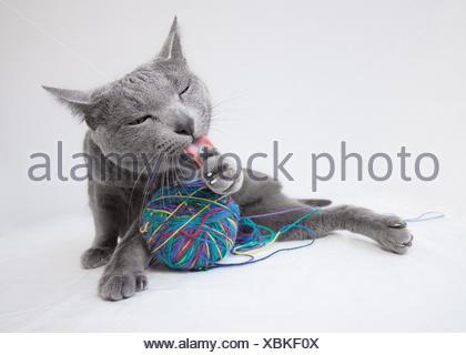 katze quotrussisch blauquot russisch blau portrait wolle ball wollknuel katze - Stock Photo