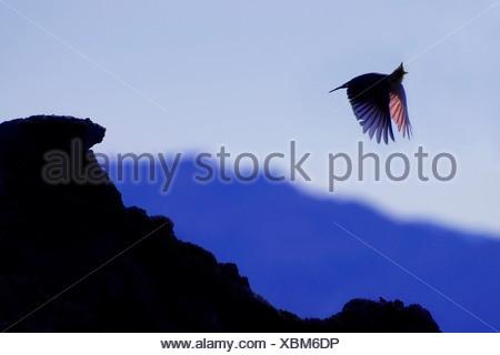 Silhouet van vliegende kuifleeuwerik tegen blauwe avondlucht; Silhouete of flying Crested lark against a blue evening sky - Stock Photo