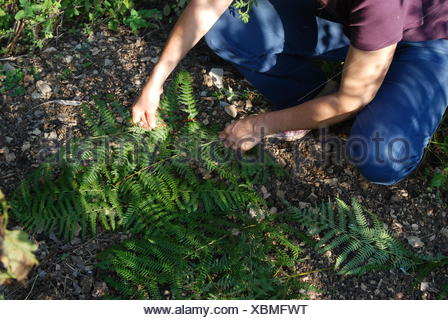 Fern leaves mulch on sowings in a garden - Stock Photo