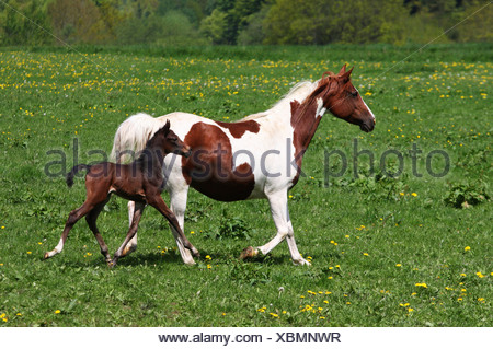 Arabian horses mare and foal trotting on meadow, Lower Saxony, Germany - Stock Photo