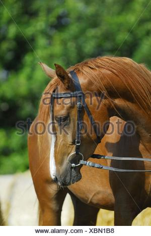 arabian horse portrait - Stock Photo