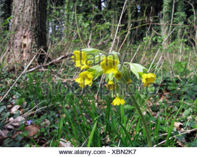 cowslip primrose (Primula veris), blooming in a forest, Germany, Lower Saxony - Stock Photo