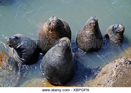 Sunbathing sea lions, Lobos, harbour, Arica, Norte Grande, northern Chile, Chile, South America - Stock Photo