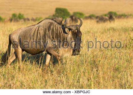 A wildebeest walks the plains of the Masai Mara during the Great Migration - Stock Photo