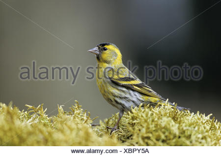 Siskin adult male sits on a moss pad - Stock Photo